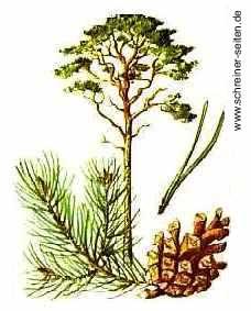 Banks Kiefer 80-100cm Pinus banksiana